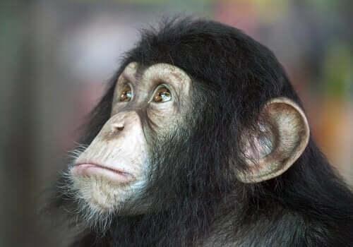 Köpekler Mi Şempanzeler Mi - Hangisi Daha Zeki?