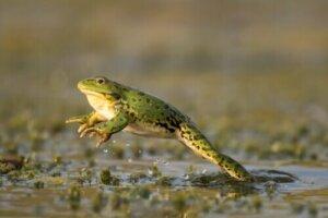 Zıplayan bir kurbağa