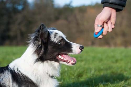 İşitme Desteği İçin Eğitilmiş Köpek