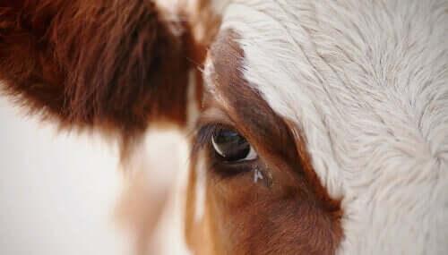 Ev Sineği konmuş bir inek göz kapağına yakında bakış