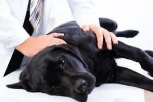 köpeğinizin acı çektiğini anlamak: veterinere götürmek
