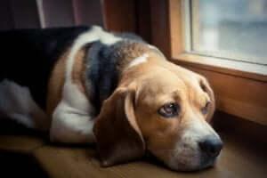 acı çeken köpek