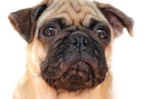 Köpeklerde Akne Sorunu için Tedaviler