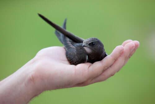 Yavru Ebabil Kuşları - Yardımınıza İhtiyaçları Olabilir