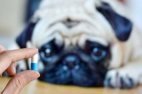 sevimli köpek ilaca bakıyor