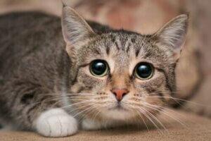 Büyük gözlü bir kedi