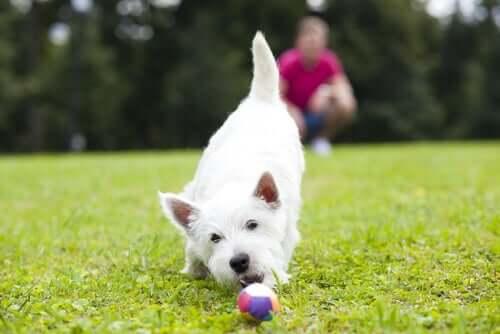 çimlerde top oynayan köpek