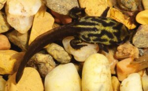 Bir corroboree yavrusu