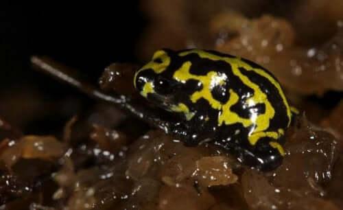 Corroboree Kurbağası: Kesinlikle Hayran Bırakan Bir Tür