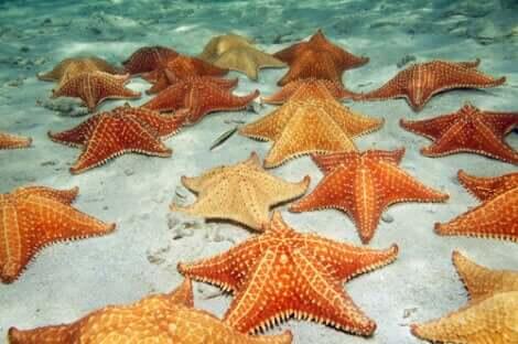 hermafrodit deniz yıldızları