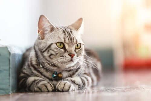 Ev Kedilerinin Sıhhati Arkasındaki Bilim
