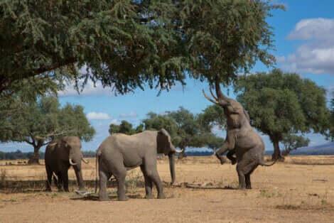 ayakta duran fil