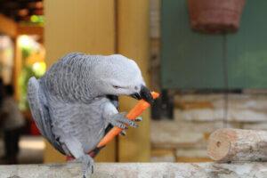 Havuç yiyen gri papağan