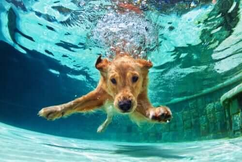 Köpekleri Yüzdürmek Konusunda Bilmeniz Gereken Her Şey