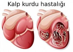 kalp kurdu hastalığı