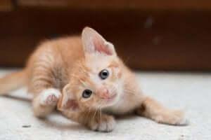 kaşınan yavru kedi