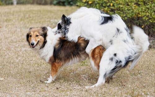 Köpekler Kastrasyon Sonrası Nasıl Davranır?