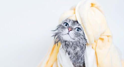 banyo yapmış kedi ve evcil hayvanınızı ıslak mendil ile yıkamak