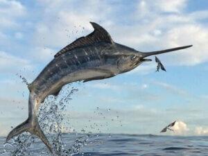 Uçan balığı avlamaya çalışan kılıç balığı