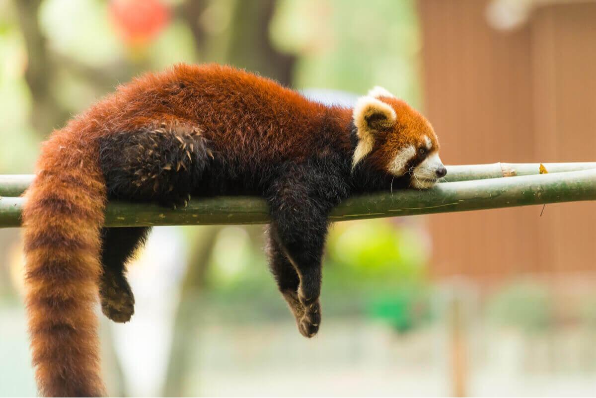 aşağı sarkarak uyuyan kızıl panda