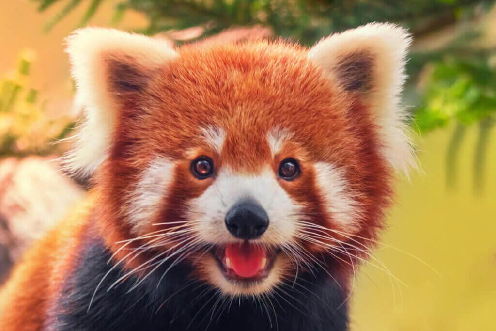 Küçük Panda: Davranış Şekilleri