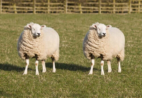 Hayvanları Klonlamak: Mümkün mü?