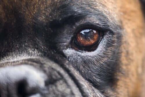 Köpeklerde Körlük Tedavileri: Alternatifler