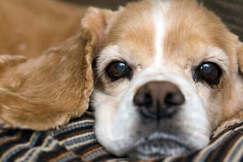Köpeklerde Kuru Burun Nedenleri