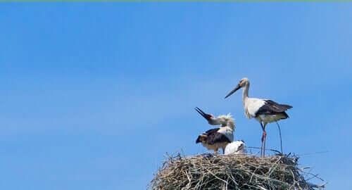 Leylekler: İyi Şans Getirdiğine İnanılan Kuşlar