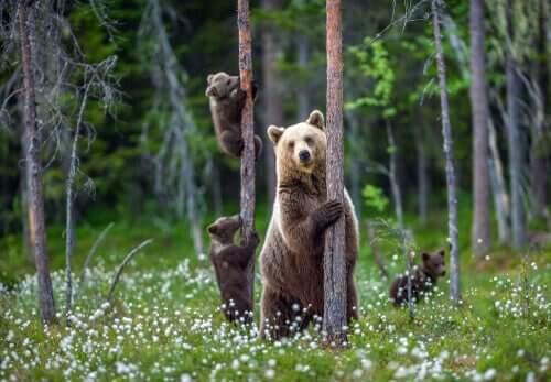 ormanda bir anne ve iki yavru ayı