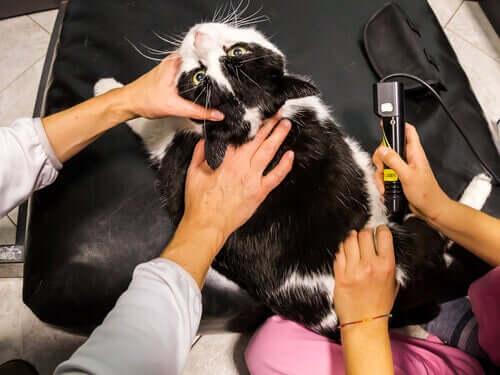 Evcil Hayvanlarda Lazer Terapi Kullanımı Hakkında Bilmeniz Gereken Her Şey