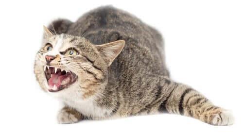 Kediler Ve Anksiyete: Kediler Anksiyete Yaşar Mı?