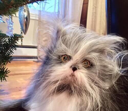kurt adam sendromu kedi Atchoum