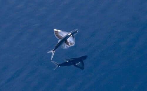 3 Muhteşem Uçan Balık Türü