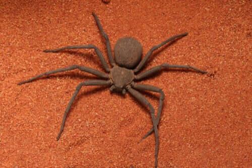 Sicarius Örümceği ve Ölümcül Zehri