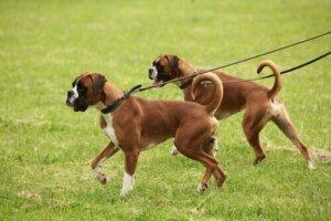 Beraber yürüyen iki köpek