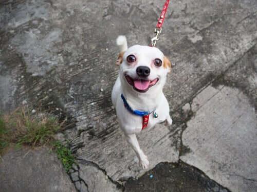 Köpekler Neden Yürürken Sahiplerine Olan İlgisini Kaybeder?