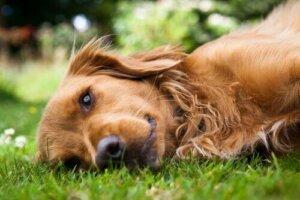 Köpeklerde Ehlers Danlos Sendromu