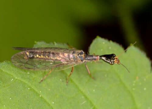 yaprak üzerindeki Raphidioptera böceği