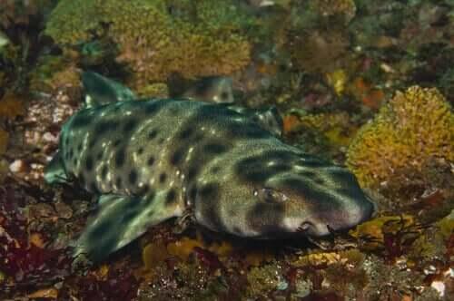 Karanlıkta Parlayan Köpek Balığı Türü