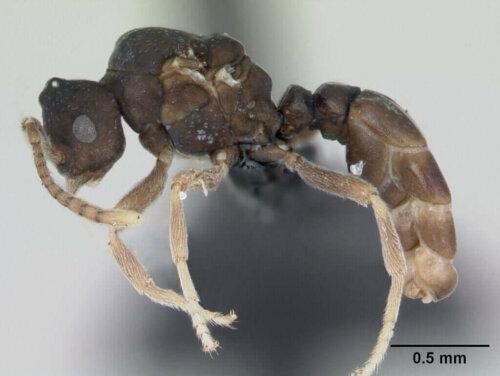 Anergates Atratulus Karıncaları ve İnanılmaz Davranışları