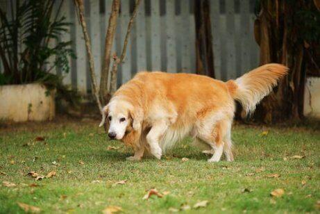 artrit hastası yaşlı köpek