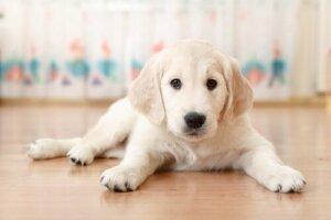 Beyaz bir köpek yavrusu
