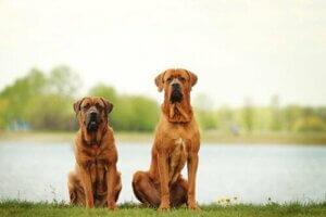 Dünyanın En Büyük Sekiz Köpek Cinsi