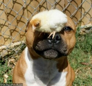 Pitbull ve civciv dostluğu