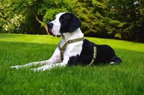 dünyanın en büyük köpeklerinden danua