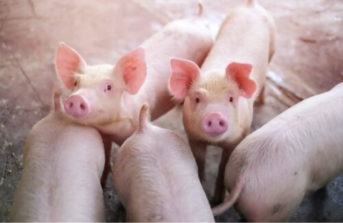 5 adet domuz yavrusu