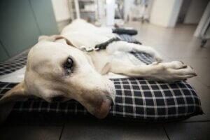 Hasta şekilde yatan bir köpek