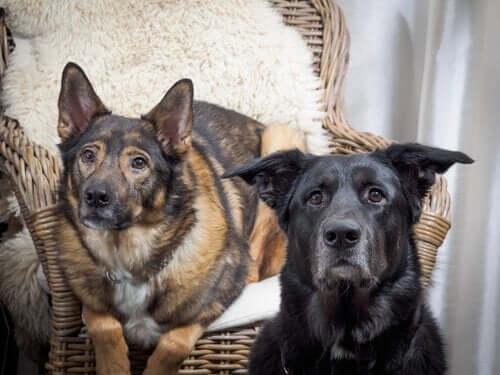 Davranışsal Problemler: Köpeklerde Uygunsuz Üste Çıkma Davranışları