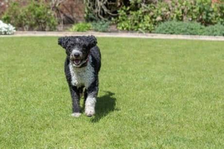 ispanyol su köpeği
